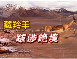 """藏羚羊""""沙图什"""" 裹着无知的贵族"""